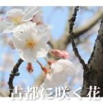 古都に咲く花